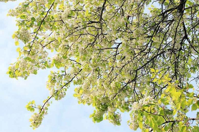 Pyrus calleryana 'Bradford', Callery Pear 'Bradford', Bradford Callery Pear, Pear Tree